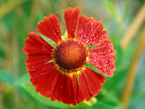 Helenium Hoopesii, Close-up of Red Flower Head Fotografie-Druck von Lynn Keddie