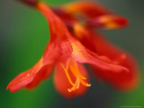 Crocosmia &quot;Bressingham Blaze,&quot; Close-up of Red Flower Fotografie-Druck von Lynn Keddie