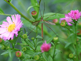 Crane Fly on Aster Flowers October Fotografie-Druck von Lynn Keddie