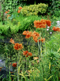 "Orange Papaver (Poppy) Flowers in Combination with Carex Elata ""Aurea"" ""Bowles Golden Sedge"" Photographic Print by Ron Evans"
