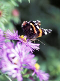 Butterfly on Aster Novae Angliae, September Photographie par Lynn Keddie