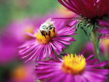 Bee on Aster Novae Angliae Photographie par Lynn Keddie