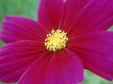 Cosmos Sulphureus Dazzler (Cosmos), Close-up of Pink Flower Stampa fotografica di Michael Davis