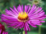 "Aster Novae Angliae ""Lou Williams,"" Pink Flower Head, September Photographie par Lynn Keddie"