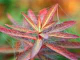 Euphorbia Griffithii &quot;Fireglow&quot; Covered with a Cobweb, September Fotografie-Druck von Lynn Keddie