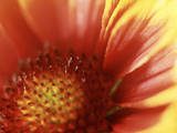 Gaillardia Grandiflora Dazzler, Close-up of Red Flower Photographic Print by Ron Evans