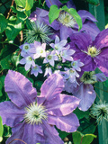 "Campanula ""Lactoflora"" Growing Amongst Clematis (Purple Flowered Climber) Photographic Print by Ron Evans"