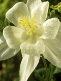 Aquilegia (Dove) Songbird Series (Columbine) Fotografie-Druck von Chris Burrows