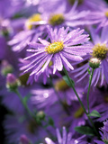 "Aster Frikartii ""Monch"" Close-up of Purple Flowers with Due Photographie par Lynn Keddie"