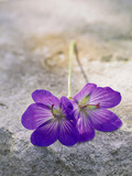 Geranium &quot;Johnson&#39;s Blue,&quot; Cut Flowers on Stone Fotografie-Druck von Lynn Keddie