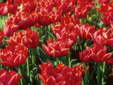 "Tulipa ""Oranje Nassau"" (Double Early Group) Spring Photographic Print by Ron Evans"
