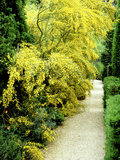 Bright Yellow Flowering Spiny Shrub Genista Syn. Chamaespartium (Broom), Oxfordshire Garden Fotoprint van David Dixon