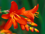 "Crocosmia ""Walberton Red,"" Close-up of Red Flower Heads Photographic Print by Lynn Keddie"