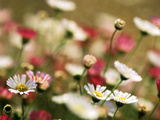 Erigeron Karvinskianus,Close-up of White Flower Heads Photographie par Lynn Keddie