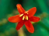 Crocosmia &quot;Babylon,&quot; Close-up of Orange/Red Flower Head Fotografie-Druck von Lynn Keddie