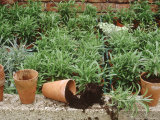 Cuttings in Pots Erysimum and Dianthus Fotografie-Druck von Jacqui Hurst