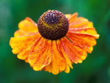Helenium &quot;Sahins Early Flowerer&quot; Fotografie-Druck von Lynn Keddie