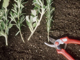 Propagation of Herbs, Salvia (Sage) &amp; Rosmarinus (Rosemary) on Soil,Red Secateurs Fotografie-Druck von Georgia Glynn-smith