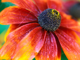 Rudbeckia &quot;Gloriosa Daisies,&quot; Close-up of Flower Head Photographic Print by Lynn Keddie