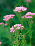 "Achillea ""Lavender Beauty,"" Close-up of Pink Flowers Photographic Print by Lynn Keddie"
