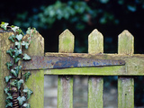 Wooden Gate with Ivy (Hedera) December Photographic Print by Andre Jordan