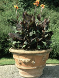 Container & Tropical Plant Canna X Hybrida in Large Urn Blenheim Palace, Oxfordshire Fotografiskt tryck av Brian Carter