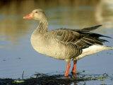 Greylag Goose, Male, Hornborga, Sweden Photographic Print by Werner Bollmann