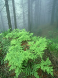 Ferns, Sequoia National Park, California, USA Photographic Print by Olaf Broders