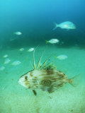 John Dory, New Zealand Photographic Print by Tobias Bernhard