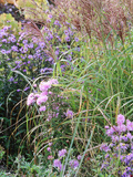 Aster (Frost Flower) and Miscanthus (Ornamental Grass), Plants in an Autumn Border Photographie par Lynn Keddie