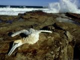 Cape Gannet, with Broken Neck, South Africa Photographie par Tobias Bernhard