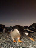 Gentoo Penguin, Bending Over, Sub Antarctic Photographic Print by Tobias Bernhard
