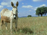 Domestic Donkey, May, Spain Stampa fotografica di Werner Bollmann