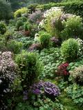 Autumn Garden, Aster, Veronica in Pink & Purple Border Reproduction photographique par Akene Sarl
