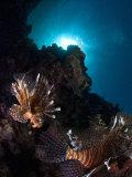 Lionfish, Reef Panorama, New Caledonia Fotografisk tryk af Tobias Bernhard
