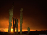 Cordon Cacti, Panorama, Mexico Photographic Print by Tobias Bernhard