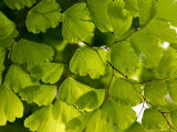 Adiantum Raddianum Fragrans (Maidenhair Fern) Photographic Print by Susie Mccaffrey