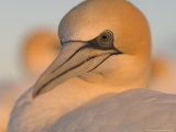 Australian Gannet, Portrait, New Zealand Photographic Print by Tobias Bernhard