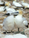 Australian Gannet, Female and Chick, New Zealand Photographic Print by Tobias Bernhard
