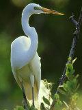 Great Egret, Florida, USA Photographie par Olaf Broders