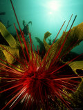 Sea Urchin, New Zealand Photographic Print by Tobias Bernhard