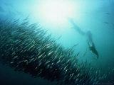 Gannet, Hunting, South Africa Photographie par Tobias Bernhard
