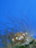 Swimmer Crab, Sheltering in Anemone, Tonga Photographic Print by Tobias Bernhard