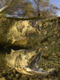 Dead Quinnat Salmon (Oncorhynchus Tshawytscha) in Mountain Stream, New Zealand Fotoprint van Tobias Bernhard
