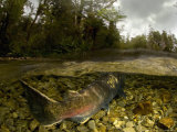 Quinnat Salmon, Swimming Upstream to Spawn, New Zealand Fotoprint van Tobias Bernhard