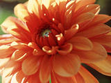 Dahlia Mummies Favourite, Close-up of Orange Flower Photographie par Lynn Keddie