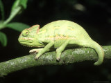 Yemens Chameleon, Young 10 Wks Old, Yemen Photographic Print by Andrew Bee