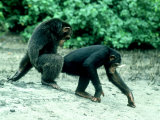Common Chimpanzee, Mating, Africa Photographic Print by Clive Bromhall