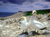 Australian Gannet, Pair, New Zealand Photographie par Tobias Bernhard