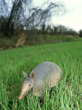 Nine-Banded Armadillo, Texas, USA Photographic Print by Olaf Broders